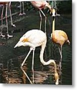 Oil Painting - The Head Of A Flamingo Under Water In The Jurong Bird Park In Singapore Metal Print