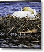 Oil Painting Nesting Swan Michigan Metal Print