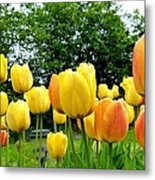 Okanagan Valley Tulips Metal Print