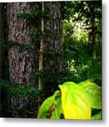 Old And Young Growth Firs Metal Print
