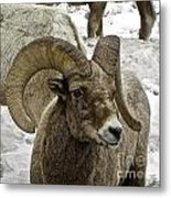 Old Big Horn Sheep Metal Print
