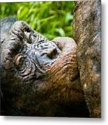 Old Chimp Metal Print