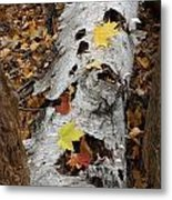 Old Fallen Birch Metal Print