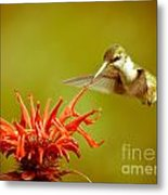 Old Fashioned Hummingbird Metal Print