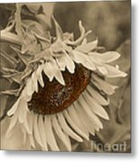 Old Fashioned Sunflower Metal Print