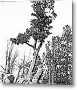Old Gnarly Tree Metal Print