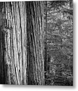 Old Growth Cedars Glacier National Park Bw Metal Print