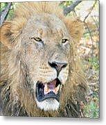 A  Lion Talks Metal Print