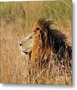 Old Lion With A Black Mane Metal Print