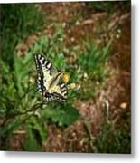 Old World Swallowtail. Montorfano. Cologne Metal Print