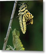 Oldworld Swallowtail Butterfly Metal Print