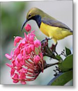 Olive-backed Sunbird Male With Flower Metal Print
