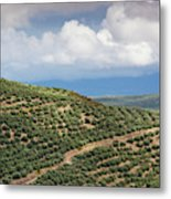 Olive Trees In A Field, Ubeda, Jaen Metal Print