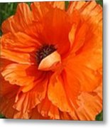 Olympia Orange Poppy Metal Print