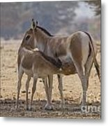 Onager Equus Hemionus 2 Metal Print