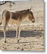 Onager Equus Hemionus Metal Print