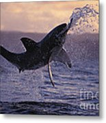 One Great White Shark Jumping Out Of Ocean In An Attack At Dusk Metal Print by Brandon Cole