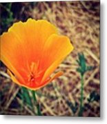 One More California Golden Poppies. I Metal Print