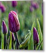 One Tulip Among Many Metal Print