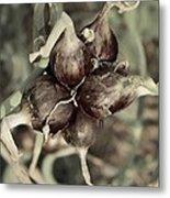 Onion Seed Heads Metal Print