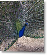 Open Feathers Metal Print
