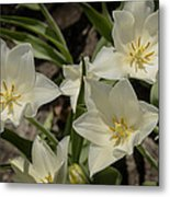 Open Tulip Time Metal Print