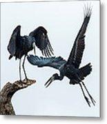 Openbill Storks Flying, Tarangire Metal Print