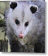 Opossum Metal Print