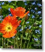 Orange And Blue - Beautiful Spring Orange Poppy Flowers In Bloom. Metal Print