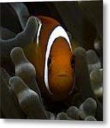 Orange Anemone Fish In Pale Anemone Metal Print