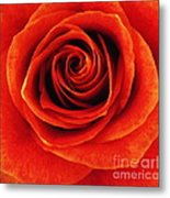 Orange Apricot Rose Macro With Oil Painting Effect Metal Print