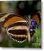 Orange Banded Butterfly Metal Print