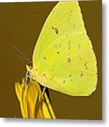 Orange Barred Sulfur Butterfly Metal Print