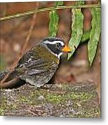 Orange-billed Sparrow Metal Print