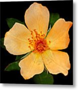 Orange Blossom Metal Print