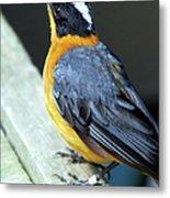 Orange Breasted Bird Portrait Metal Print