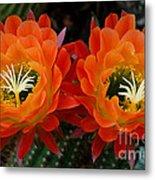 Orange Cactus Flowers Metal Print