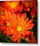 Orange Chrysanthemum Metal Print