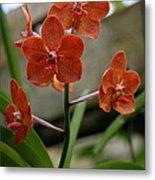 Orange Colored Orchid Metal Print