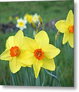 Orange Daffodils Flowers Spring Garden Metal Print