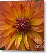 Orange Dahlia Blossom Metal Print