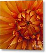 Orange Dahlia Close Up Metal Print