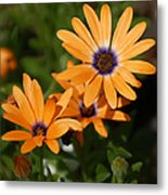 Orange Daisy Metal Print