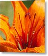 Orange Daylily Closeup Metal Print