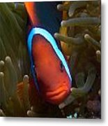 Orange Face Anemonefish Metal Print