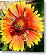 Orange Fiery Gaillardia Flower And Bee Macro Metal Print