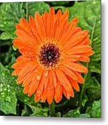 Orange Gerber Daisy 2 Metal Print