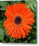 Orange Gerber Daisy 3 Metal Print