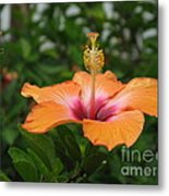 Orange Hibiscus Blossom Metal Print