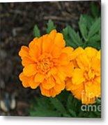 Orange Marigolds   # Metal Print